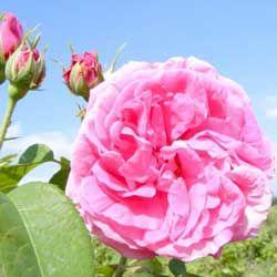 Organic Rose Otto Essential Oils  (5ml)