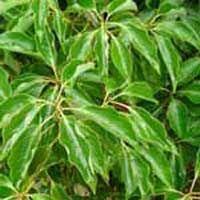 Ravensara Organic Essential Oils  (10ml)