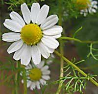 Organic German Chamomile Blue Essential Oil