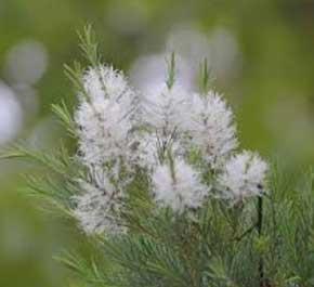 TEA TREE WILD ESSENTIAL OIL-  10ml
