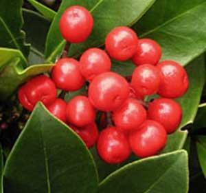 Wild Wintergreen Essential Oils  (10ml)