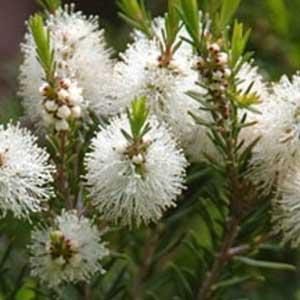 Organic Tea Tree Essential Oils  (10ml)