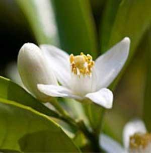 5% Organic Neroli Essential Oil in Orgainc Jojoba Oil(10ml)