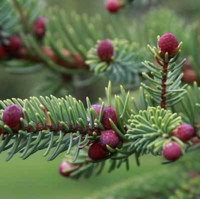 野生黑雲杉精油(Wild Spruce Black)10ml