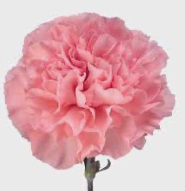 Carnation Absolute Oil -康乃馨(Egypt) 5ml