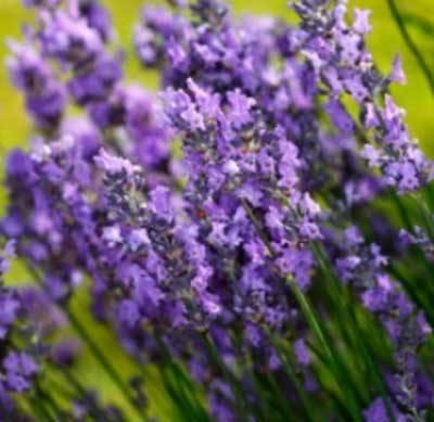 Lavender High Alpine Essential Oils  (30ml)